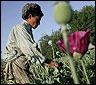 Una plantacion de adormideras en Afganistan